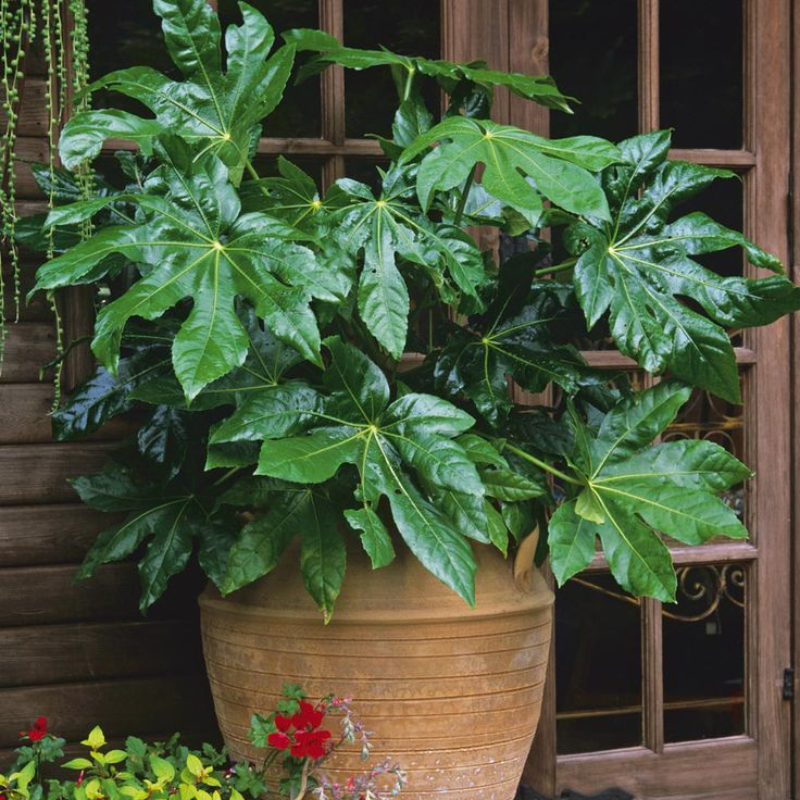 Fatsia japonica (Large Plant)