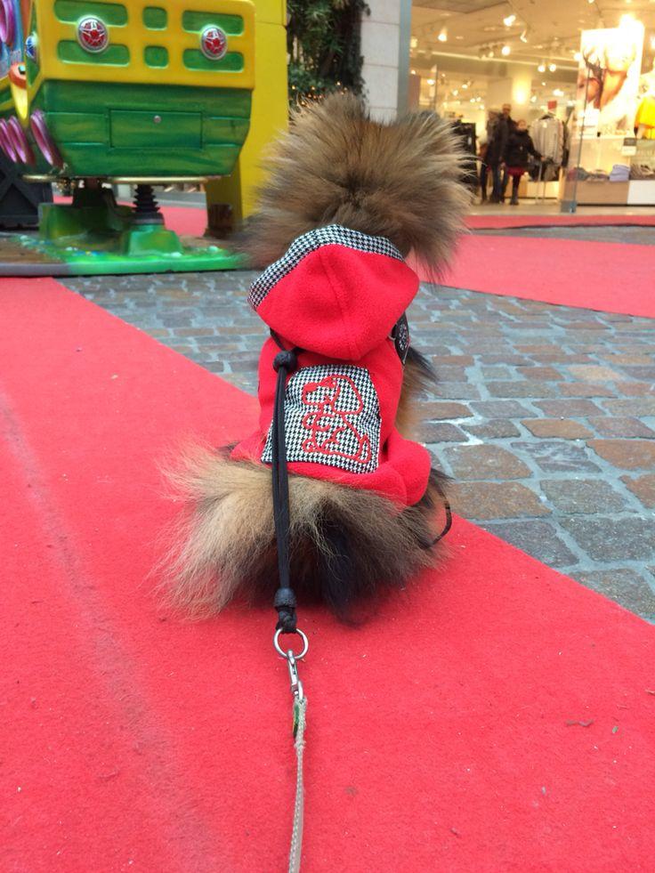Pomeranian Zero - Aspettando padroncina