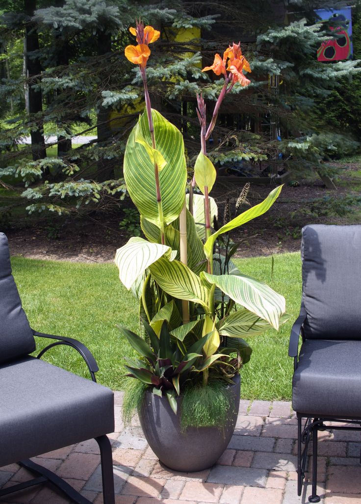 {cannas}  Try these in pots this year