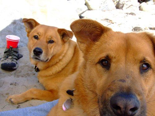 images of chow lab breeds | chow chow chow chow puppy chow lab cmu section detail