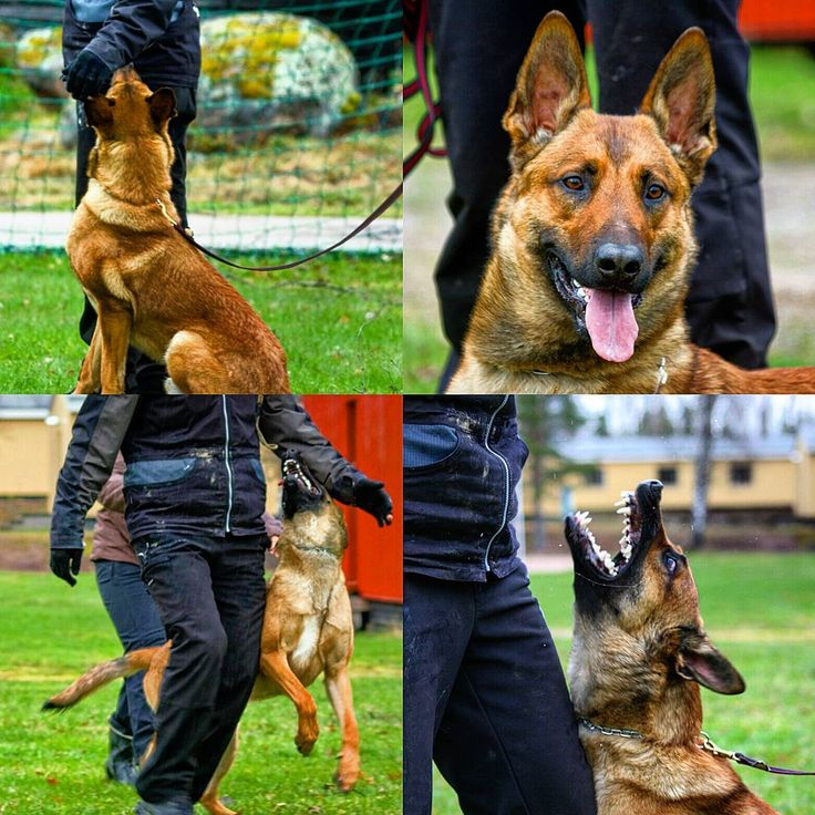 Finnish K9  Vito visited #finnish #germanshepherd  #union #obedience camp. Lots of enthusiasm in young boy.   #spl #suomen_poliisi #iupoliisi #tottis #tottelevaisuuskoulutus #poliisikoira #polishund #polis #politihund #suhteellisenmalinois #belgianmalinois #ultimate #power #youngster #vito #police #policedog #weownthenight