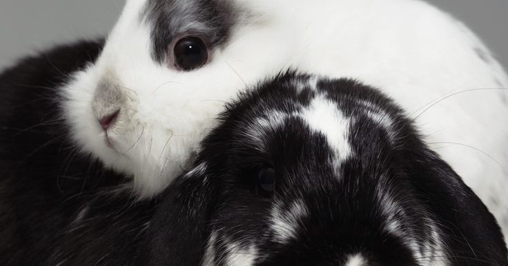 Como cortar as unhas de um coelho. Uma das coisas que a maioria dos donos de coelhos temem: Cortar as unhas de seus bichos de estimação. Cortar as unhas de um coelho pode ser um processo estressante, tanto para você quanto para o animal, mas esta é uma tarefa fundamental para manter seu coelho bem cuidado. Unhas muito longas podem dificultar o andar do bichinho e podem ser ...