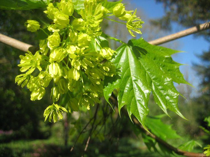 Acer saccharinum, Silver Maple, April