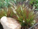 mini pennisetum burgundy bunny - first ever hardy red fountain grass.  good for containers