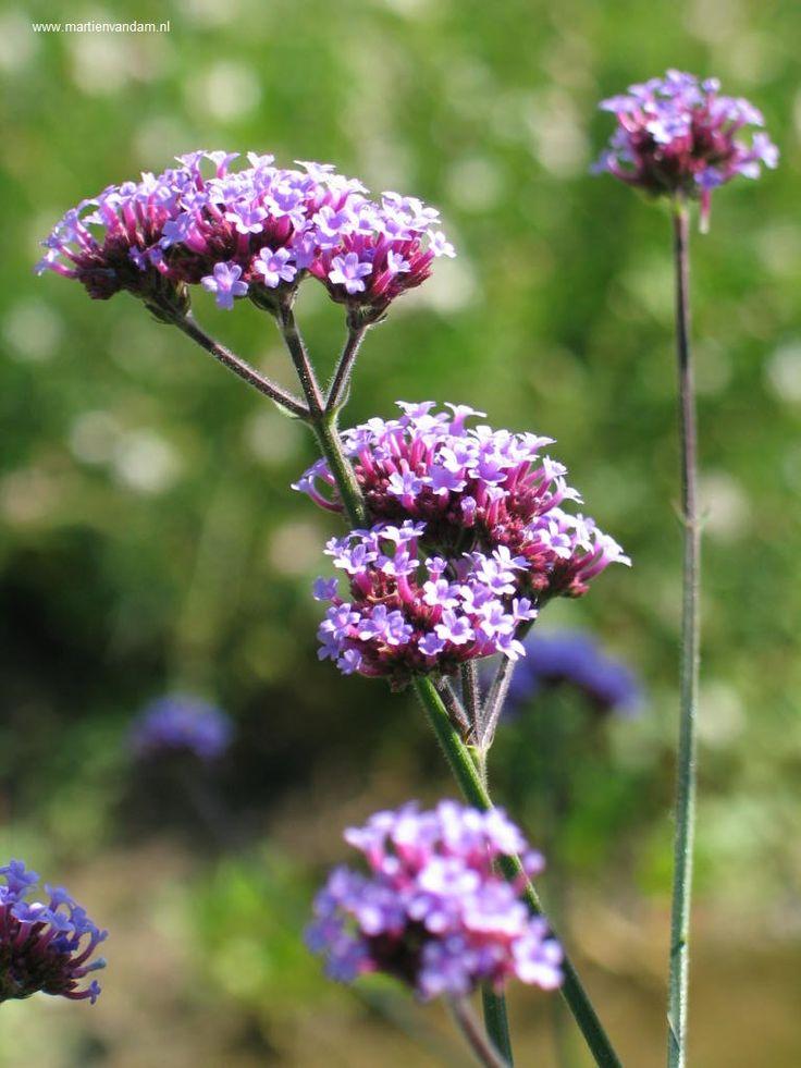 Verbena bonariensis: De 4-kante stengels met lila bloemen kunnen tot 2 m. hoog worden, juni – september/ okt. is de bloeitijd. Zonliefhebber en vrij droge grond.