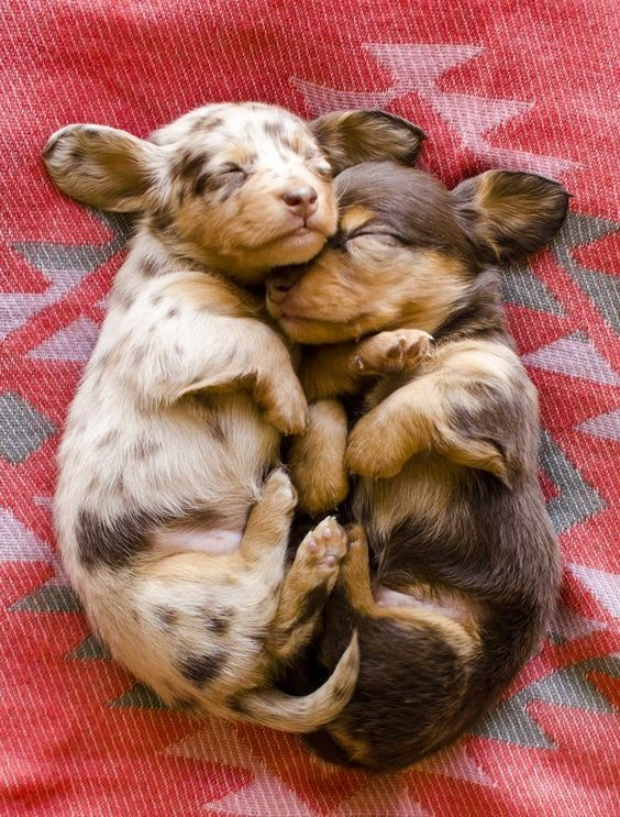 CUDDLING DACHSHUND PUPPIES <3