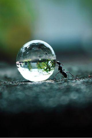 Hormiga de agua