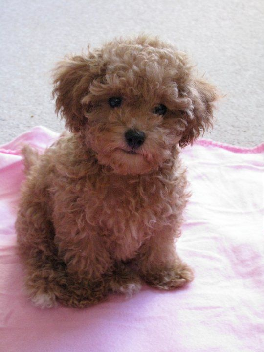 caramel maltipoo happy stuff // everything random