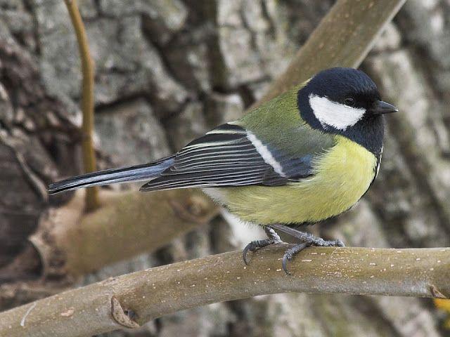 NAŠE ZAHRADY: Užiteční ptáci na naší zahradě. Sýkorky - Ptáci na...