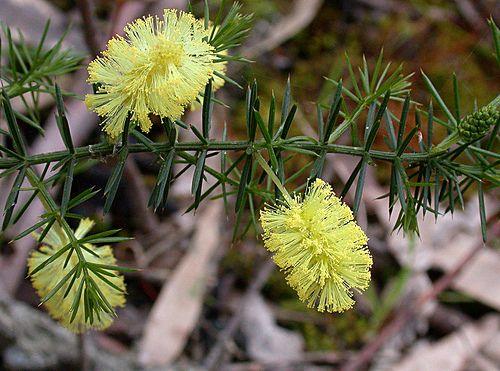 Prickly Moses/Acacia verticillata (Shrub) - Part Shade.