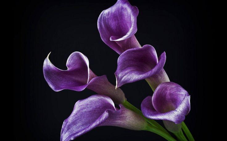 Скачать обои цветы, каллы, фиолетовые, блестящие, раздел цветы в разрешении 1280x800