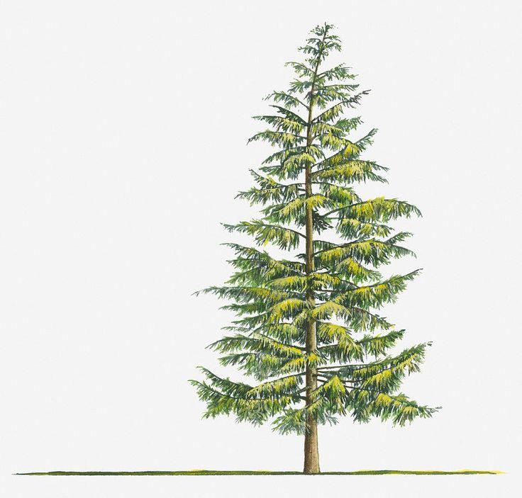 evergreen tree Tattoos   ... Large Evergreen Tsuga Heterophylla (western Hemlock) Tree Digital Art