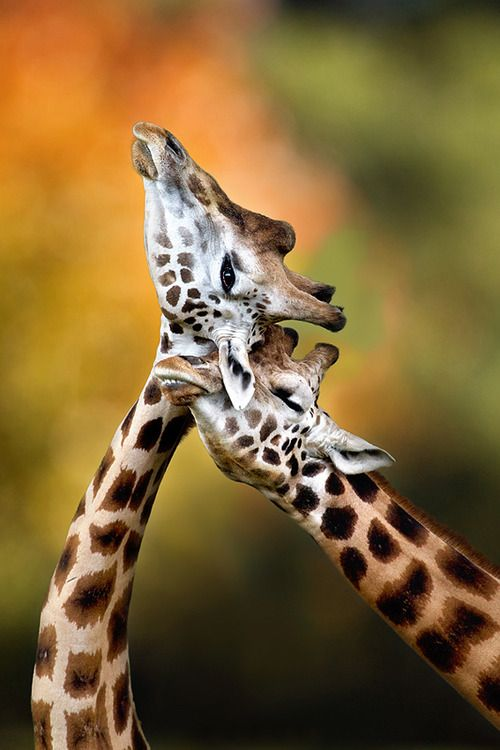 Giraffes Necking, have you caught on that I really really REALLY love giraffes?