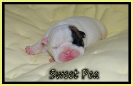 English bulldog puppies....How can you not just love that little pink smoosh?