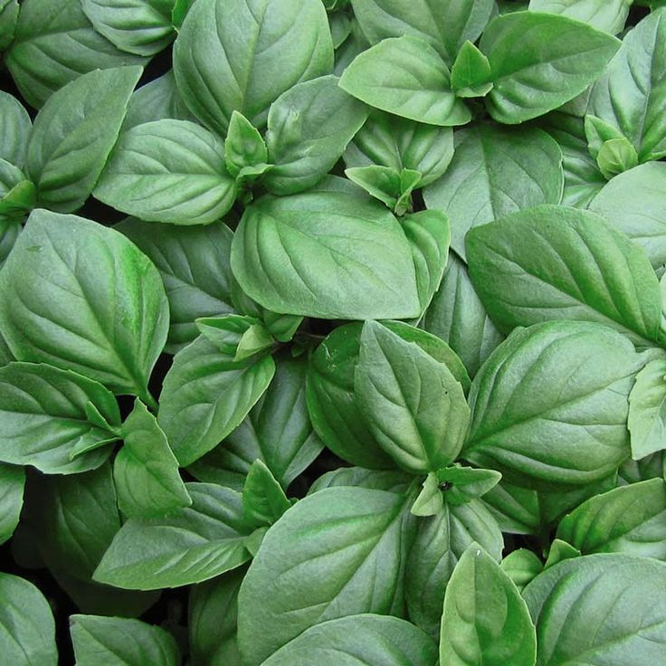 Basil the Greek spring most popular plant ~ Βασιλικός | Smile Greek