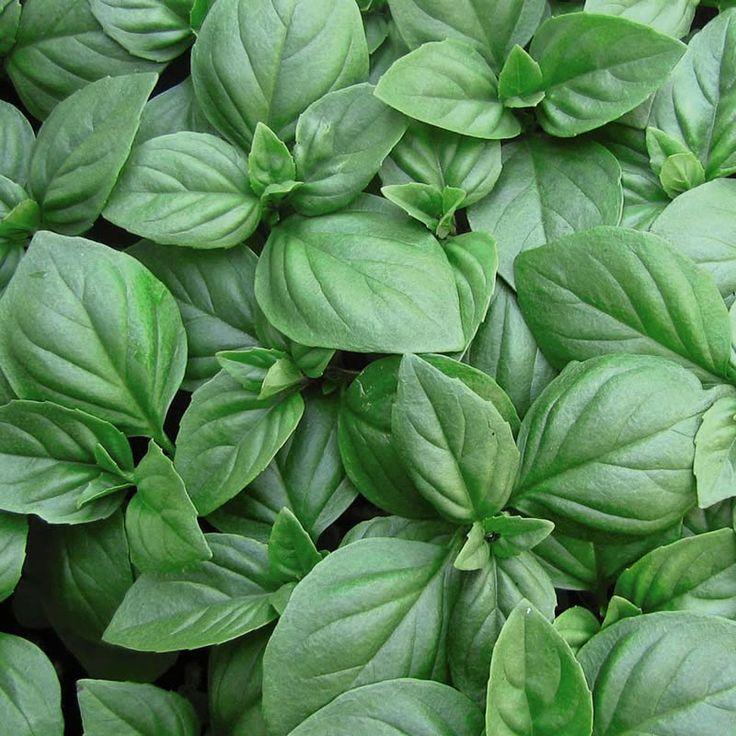 Basil the Greek spring most popular plant ~ Βασιλικός   Smile Greek