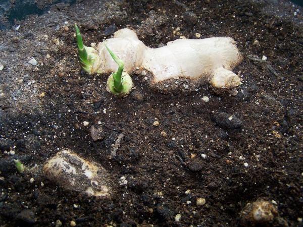 Como plantar gengibre. Você está procurando como plantar gengibre de forma a ter este rizoma sempre disponível perto de si? Para o ajudar nessa tarefa preparámos este artigo umComo.com.br com várias dicas úteis! O gengibre,...