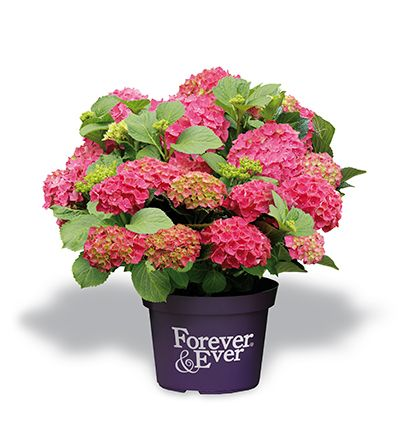 Hydrangea macrophylla 'Forever and Ever' rood - Maréchal