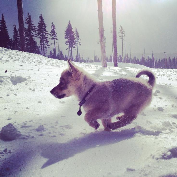 Nova the Swedish Vallhund - Imgur