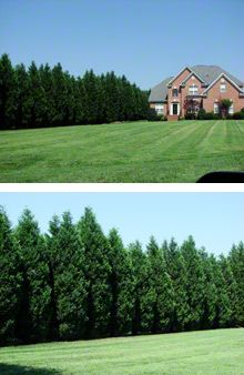 Leyland Cypress Trees (privacy) fast-growing 6' per year / Size: 60-70' tall, 15-20' wide, Sun: Full - Partial / $17-85 (zone 7) Plant spacing: 10 feet