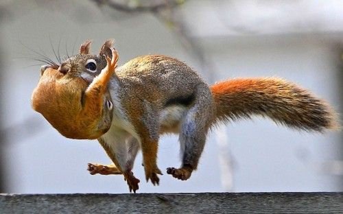 A red squirrel carries its baby in its mouth as it bounds along a fence in Winnipeg, Manitoba, Canada.