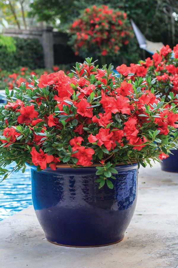 Encore Azaleas In Containers Helpful Ideas To Create The Best Show Potted Plants Patio Azalea Flower Container Plants
