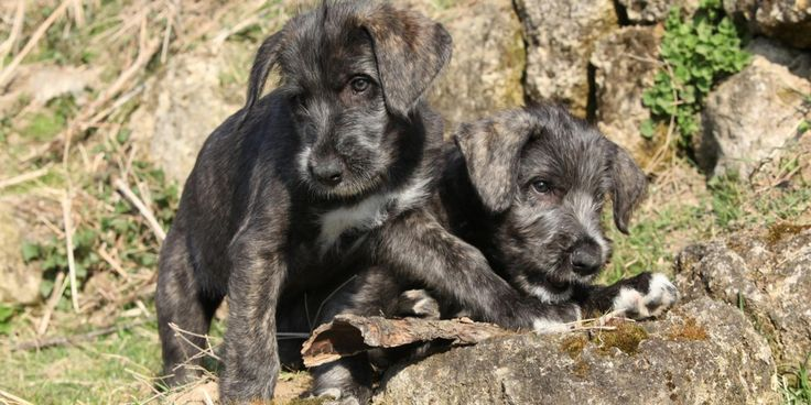 First Identical Twin Puppies Born
