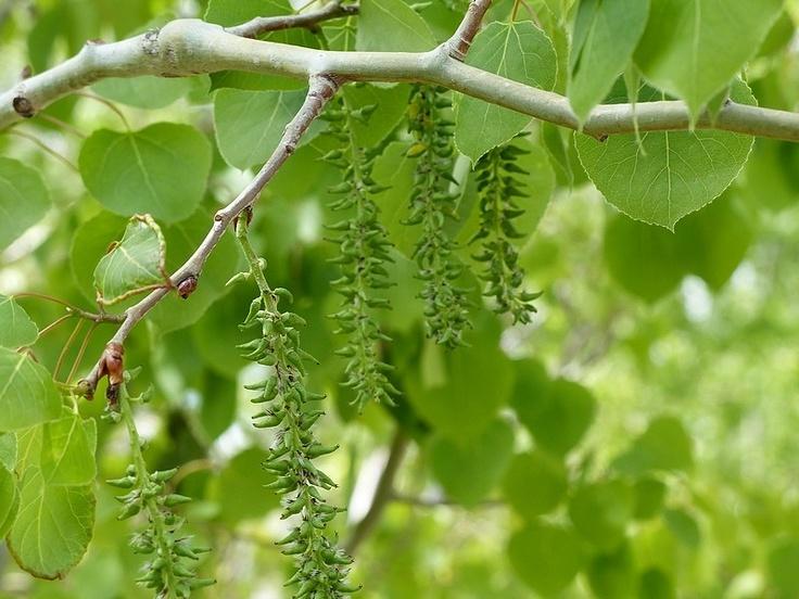 http://faaxaal.forumgratuit.ca/t2471-photo-d-arbre-du-canada-peuplier-faux-tremble-populus-tremuloides-quaking-aspen-trembling-aspen