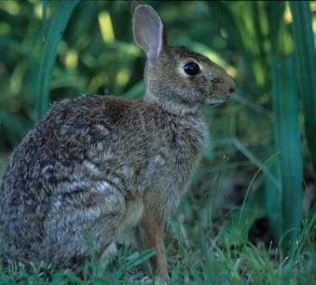 Rabbit Hunting: Tips to Increase Success