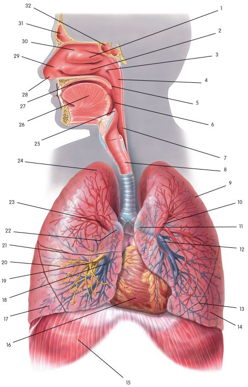65 Best Respiratory System Images On Pinterest Respiratory System