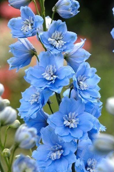 Candle Larkspur, Delphinium 'Centurion Sky Blue' (Delphinium elatum)