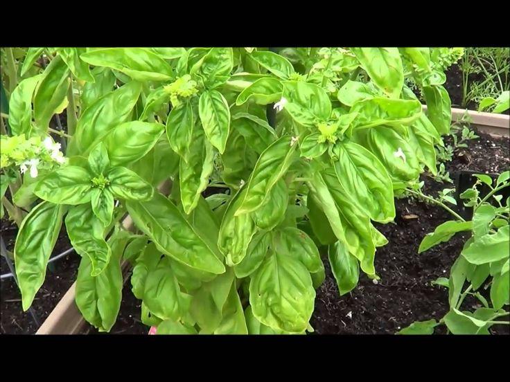 How to prune basil. Harvesting basil (thinning, pruning) ~ via http://youtu.be/UE84U-FSoic