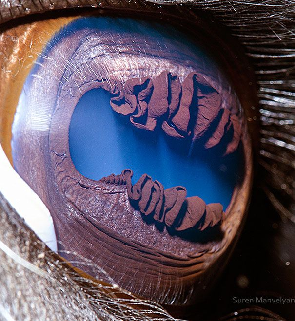 Extreme Close-Up of a llama eye