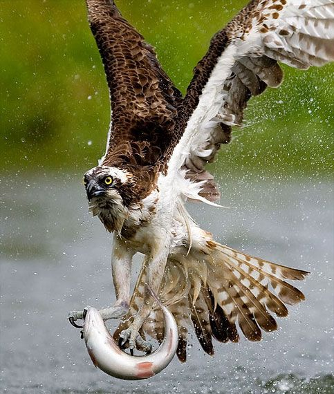 25 best ideas about birds of prey on pinterest raptors for Fish hawk bird