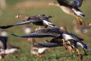 Best Specklebelly Goose Hunting Tips – Hunt in the Mississippi Flyway