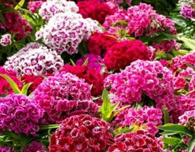 Heirloom 800 Seeds Dianthus caryophyllus Carnation Sweet William Double Mix Flower Seeds S043, $1.79