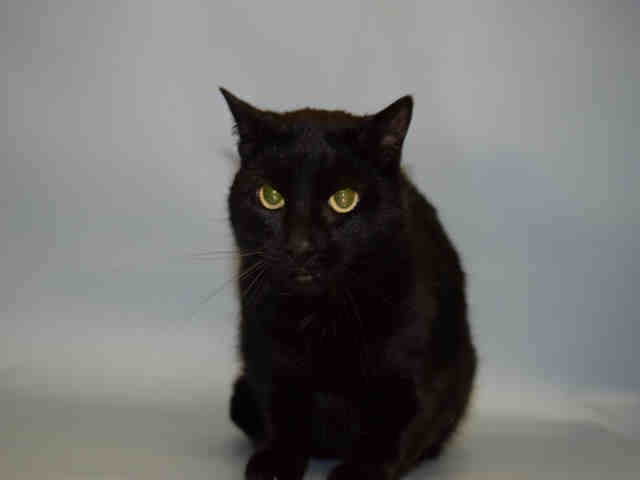 SPOOKY - A1092517 - - Manhattan  ***TO BE DESTROYED 10/20/16*** SPOOKY HAS LOST HIS HOUSING AND HIS OWNER! THE OWNER HAS MOVED INTO A NURSING HOME THAT DOESN'T ALLOW PETS! But it's just too bad that this 5-6 year old may have to pay the price with her life! She's lived with the same owner her whole life and has been SPAYED. She's not been socialized around kids, dogs or cats! This black beauty had charmed the assessor into a AVERAGE RATING! PLEASE FO