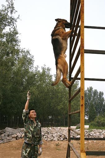 That dog is awesome.  I am scared to death if heights and look at him go.  German Shepherd training