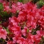 Many homeowners wonder how do you prune an azalea to keep it a manageable size and shape. Pruning azaleas is easy and can be done with a few simple rules in mind. This article will help.
