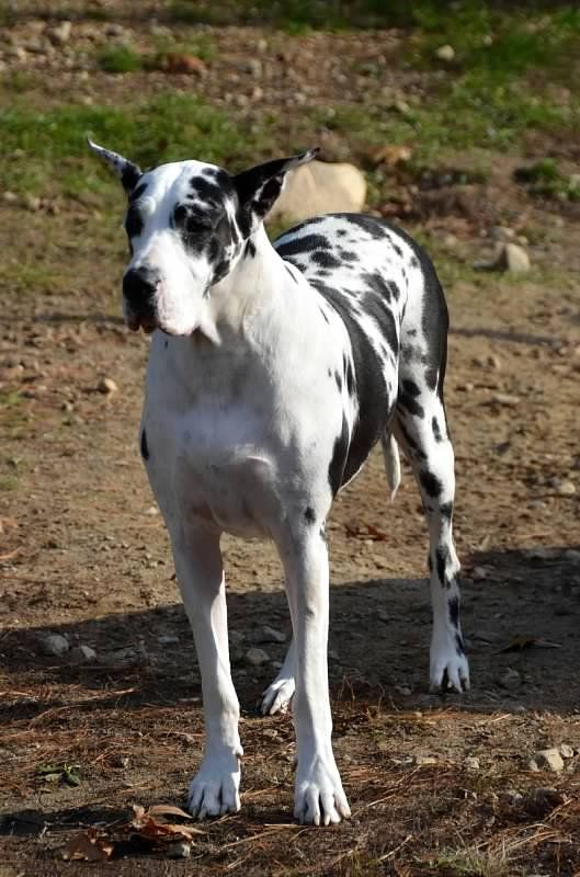 Great Dane Service Dog Ma
