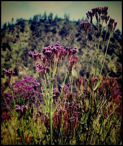 Lavender @Oro-oro ombo