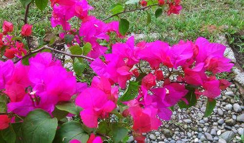 Cara Menanam Bunga Kertas Agar Cepat Tumbuh - http://caramenanam.net/cara-menanam-bunga-kertas/