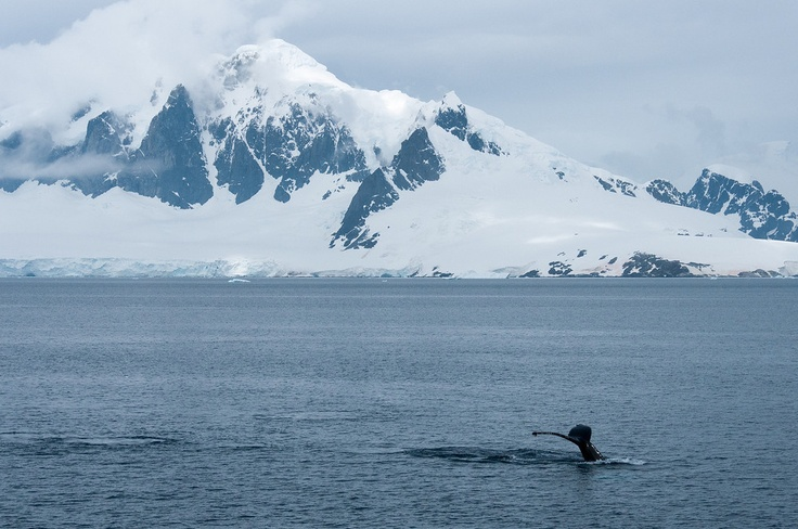 A humpback whale diving in the Gerlache Strait, AntarcticaAntarctica, Humpback Whales, Gerlach Strait, Whales Diving, The Roller Coasters