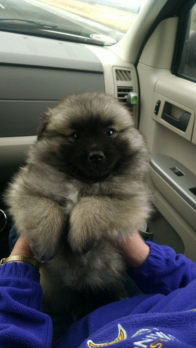 And this cutie who can't wait to ~feel the breeze~ in his luscious locks. | 27 Puppies Who Are Too Fluffy For Their Own Good