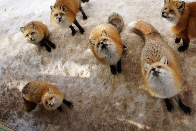 Japan, 'Zao Fox Village' is a sanctuary where hundreds of free-roaming foxes eat, live, work, and play