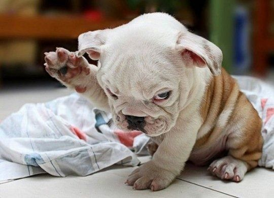 puppy love.Bulldogs Puppies, Funny Dogs, So Cute, English Bulldogs, Pets, Funny Stuff, Things, Dr. Who, Animal