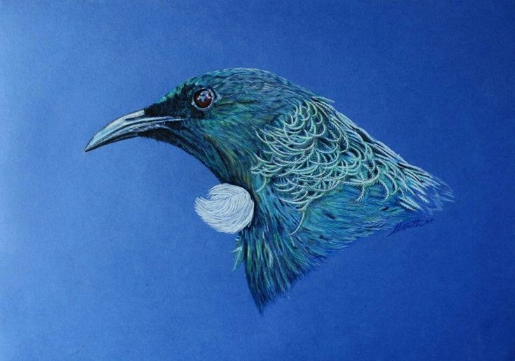 Tui, NZ Native bird, Colour Pencil on card, 300 mm x 420mm, by Cherith Curtis