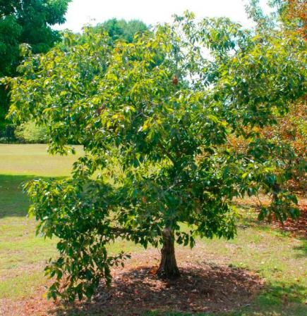 The 25 best small ornamental trees ideas on pinterest for Small ornamental trees for landscaping