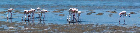 Panoramafoto van naar voedsel zoekende flamingo's voor de kust van Namibië.De foto is genomen voor de kust van Namibië, bij Walvisbaai.Phoenicopterus is een geslacht van vogels uit de familie flamingo's (Phoenicopteridae).Het verenkleed van de gewone flamingo is overwegend wit met wat roze. De vogel heeft een extreem lange nek, een stompe, gehoekte snavel met een zwarte punt, extreem lange poten en korte tenen met zwemvliezen. De lichaamslengte bedraagt 150 cm en het gewicht tot 4 kg....