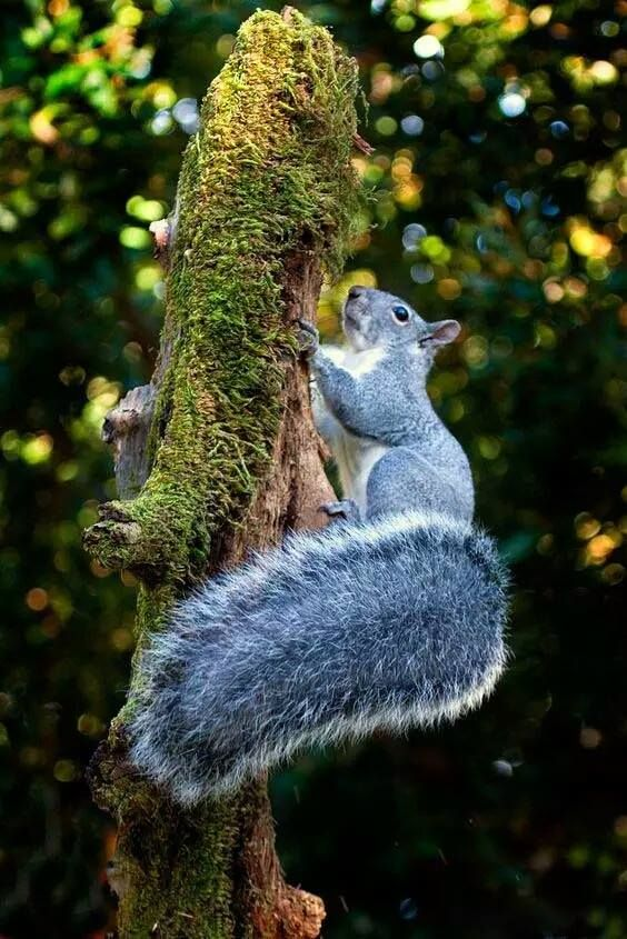 Bushy tail ardillitas pinterest ardilla animales y pasi n - Nutcracker squirrel ...